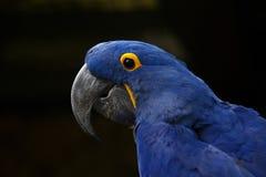 Υάκινθος Macaw Πορτρέτο μιας κινηματογράφησης σε πρώτο πλάνο υάκινθων macaw Στοκ Φωτογραφία