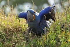 Υάκινθος Macaw στοκ εικόνα με δικαίωμα ελεύθερης χρήσης