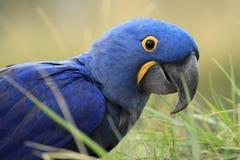 Υάκινθος Macaw στοκ εικόνες με δικαίωμα ελεύθερης χρήσης