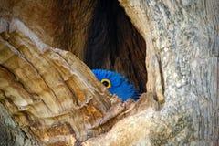 Υάκινθος Macaw, hyacinthinus Anodorhynchus, μεγάλος μπλε παπαγάλος στην κοιλότητα τρυπών φωλιών δέντρων, πουλί στο mato Grosso, ε Στοκ Φωτογραφία