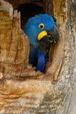 Υάκινθος Macaw, hyacinthinus Anodorhynchus, μεγάλος μπλε παπαγάλος στην κοιλότητα τρυπών φωλιών δέντρων, πουλί στο mato Grosso, ε Στοκ Εικόνες