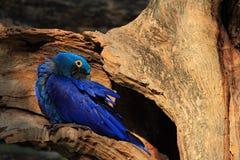 Υάκινθος Macaw, hyacinthinus Anodorhynchus, μεγάλος μπλε σπάνιος παπαγάλος στην τρύπα φωλιών δέντρων, πουλί στο δασικό βιότοπο φύ Στοκ Φωτογραφία