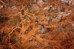 Υάκινθος Macaw, hyacinthinus Anodorhynchus, μπλε να τοποθετηθεί παπαγάλων κιβώτιο δέντρων, Pantanal, Βραζιλία, Νότια Αμερική Όμορ Στοκ φωτογραφία με δικαίωμα ελεύθερης χρήσης