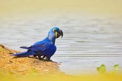 Υάκινθος Macaw, hyacinthinus Anodorhynchus, μπλε παπαγάλος Μεγάλος μπλε παπαγάλος πορτρέτου, Pantanal, Βραζιλία, κατανάλωση νερού Στοκ φωτογραφία με δικαίωμα ελεύθερης χρήσης