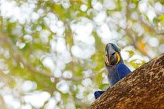Υάκινθος Macaw, hyacinthinus Anodorhynchus, μπλε παπαγάλος Μεγάλος μπλε παπαγάλος πορτρέτου, Pantanal, Βραζιλία, Νότια Αμερική Όμ Στοκ Φωτογραφία