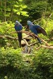 υάκινθος macaws δύο Στοκ εικόνες με δικαίωμα ελεύθερης χρήσης