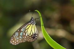 υαλώδης τίγρη πεταλούδων κίτρινη Στοκ Φωτογραφίες