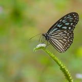 υαλώδης τίγρη πεταλούδω&nu Στοκ φωτογραφία με δικαίωμα ελεύθερης χρήσης