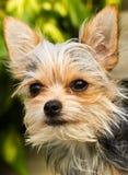 Υβρίδιο τεριέ του Γιορκσάιρ Chihuahua Στοκ φωτογραφία με δικαίωμα ελεύθερης χρήσης