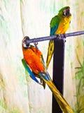 Υβρίδιο δύο macaws σε μια πέρκα Στοκ εικόνες με δικαίωμα ελεύθερης χρήσης