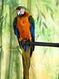 Υβρίδιο Harlequin macaw σε μια πέρκα Στοκ Φωτογραφία