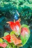 Υβριδικό κόκκινο λουλούδι φλαμίγκο, anthurium πλεξίδων ή να φλεθεί πλεξίδων Στοκ φωτογραφία με δικαίωμα ελεύθερης χρήσης
