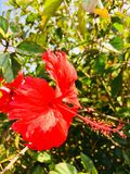 Υβριδικό λουλούδι Στοκ εικόνα με δικαίωμα ελεύθερης χρήσης