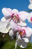υβριδικό orchids phalaenopsis Στοκ εικόνα με δικαίωμα ελεύθερης χρήσης