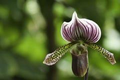 υβριδικό paphiopedilum maudiae Στοκ Εικόνες