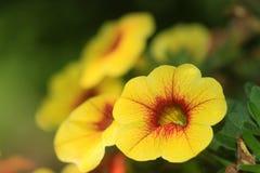 Υβριδικά λουλούδια Calibrachoa Στοκ φωτογραφία με δικαίωμα ελεύθερης χρήσης