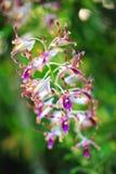 Υβριδικές ορχιδέες Magaret Θάτσερ Dendrobium στοκ φωτογραφία με δικαίωμα ελεύθερης χρήσης