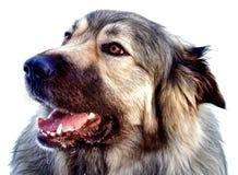 Υβριδικό γερμανικό σκυλί των Πυρηναίων ποιμένων μεγάλο στοκ εικόνες