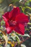 Υβριδικό hibiscus λουλούδι Στοκ Εικόνες