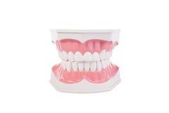 Υγιές άσπρο ανθρώπινο ανατομικό πρότυπο δοντιών οδοντιατρική Στοκ Εικόνα