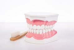 Υγιές άσπρο ανθρώπινο ανατομικό πρότυπο δοντιών οδοντιατρική Στοκ εικόνες με δικαίωμα ελεύθερης χρήσης