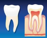 υγιές δόντι διανυσματική απεικόνιση