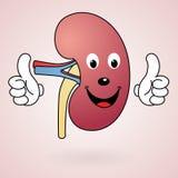 Υγιές νεφρό κινούμενων σχεδίων Στοκ Εικόνες