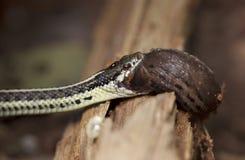 Υγιές Garter Puget φίδι που τρώει έναν γυμνοσάλιαγκα Στοκ εικόνες με δικαίωμα ελεύθερης χρήσης