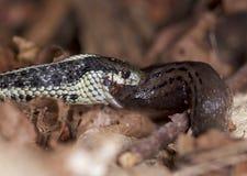 Υγιές Garter Puget φίδι που τρώει έναν γυμνοσάλιαγκα Στοκ Εικόνα