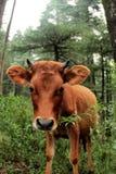 Υγιής αγελάδα μωρών Στοκ Εικόνες