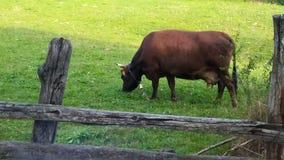 Υγιής αγελάδα που τρώει τη χλόη, οικολογικό περιβάλλον, φιλτράρισμα απόθεμα βίντεο