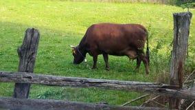 Υγιής αγελάδα που τρώει τη χλόη, οικολογικό περιβάλλον φιλμ μικρού μήκους
