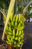 Υγιής δέσμη τροφίμων τροπικό φρούτων μπανανών στην μπανάνα tre Στοκ εικόνα με δικαίωμα ελεύθερης χρήσης