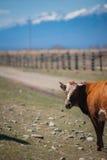 Υγιής και καλά ταϊσμένη αγελάδα στο λιβάδι στα βουνά, με την εκλεκτική εστίαση Στοκ Εικόνες