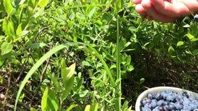 Υγιής οργανική τροφή - άγρια Vaccinium βακκινίων ανάπτυξη myrtillus στο δάσος απόθεμα βίντεο