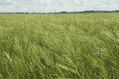 Υγιής στάση του άγριου ρυζιού Στοκ εικόνες με δικαίωμα ελεύθερης χρήσης