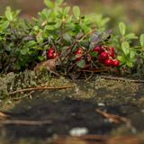Υγιή μούρα, που περιμένουν στο δάσος Στοκ φωτογραφία με δικαίωμα ελεύθερης χρήσης