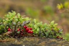Υγιή μούρα, που περιμένουν στο δάσος Στοκ εικόνα με δικαίωμα ελεύθερης χρήσης
