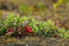 Υγιή μούρα, που περιμένουν στο δάσος Στοκ Εικόνες