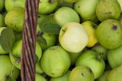 Υγιή οργανικά μήλα σε ένα καλάθι Η συλλεχθείσα οικολογικά καθαρή συγκομιδή των αχλαδιών στον οπωρώνα στοκ εικόνες με δικαίωμα ελεύθερης χρήσης