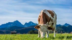 Υγιείς αγελάδες βοοειδών στο λιβάδι στοκ εικόνες