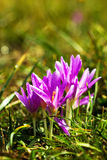 Υγρά ιώδη λουλούδια κρόκων που αναπτύσσουν στο έδαφος Στοκ εικόνα με δικαίωμα ελεύθερης χρήσης