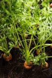 Υγρά καρότα στο ρύπο Στοκ εικόνες με δικαίωμα ελεύθερης χρήσης