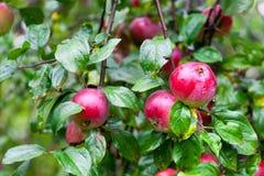 Υγρά κόκκινα μήλα Στοκ φωτογραφίες με δικαίωμα ελεύθερης χρήσης