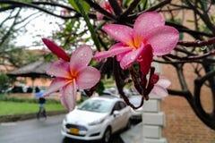 Υγρά λουλούδια Plumeria με τα σταγονίδια νερού μετά από μια βροχερή κατάσταση Ρόδινα λουλούδια με τη δροσιά στοκ εικόνα