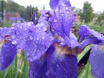 Υγρά πορφυρά λουλούδια της Iris Στοκ Φωτογραφία