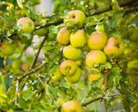 Υγρά πράσινα μήλα σε θερινή περίοδο μετά από τη βροχή Στοκ Φωτογραφίες