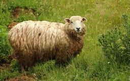 Υγρά πρόβατα Στοκ εικόνες με δικαίωμα ελεύθερης χρήσης