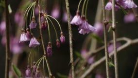 Υγρά ρόδινα άνθη κερασιών μετά από τη θύελλα βροχής την άνοιξη φιλμ μικρού μήκους