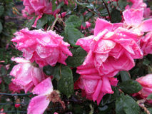 Υγρά ρόδινα τριαντάφυλλα σε μια ψιλή βροχή Στοκ Εικόνες